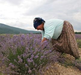 България отново на първо място в света по производство на лавандулово масло