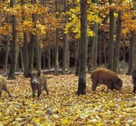 На 1 октомври откриват груповият лов на дива свиня