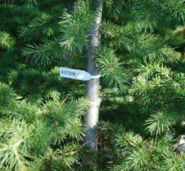 Проверки по добива, транспортирането и продажбата на коледни елхи