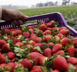 Инспекцията по труда затяга контрола в селското стопанство