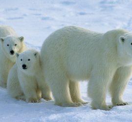 Днес е Световният ден на бялата мечка
