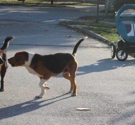 Приемат Програма за овладяване на популацията на безстопанствените кучета на територията на община Панагюрище