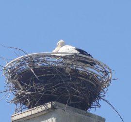 """Завърна се и щъркелът, обитаващ гнездото ОУ """"Проф. Марин Дринов"""""""