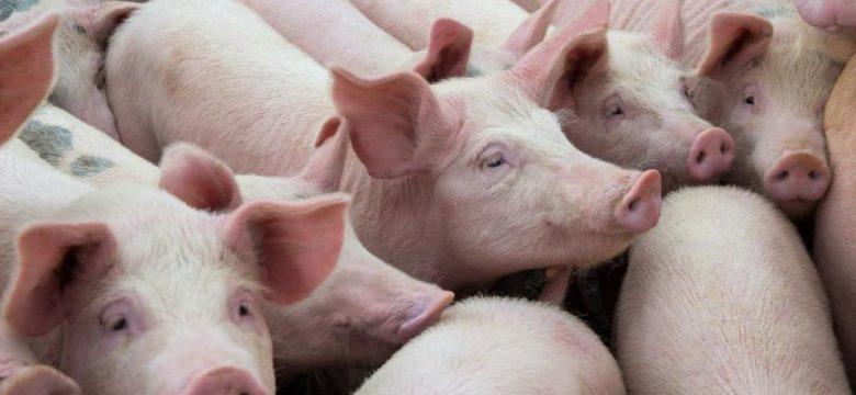 Животновъдите кандидатстват до 18 октомври за подпомагане по трети транш за прасета за угояване