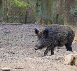 Сериозен спад на отстреляните диви свине през изминалия ловен сезон