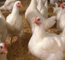Към момента на територията на областта няма случаи на инфлуенца по птиците, но опасността от разпространение на заболяването остава висока