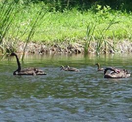 Четири малки патици намериха своя дом в езерото с лилиите на с.Панагюрски колонии. Новите обитатели ще правят компания на красивите черни лебеди