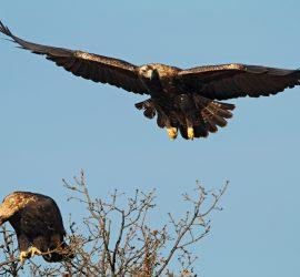 Подкрепете проект на EVN за опазването на царския орел в България
