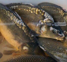 Започват засилени проверки в обектите за продажба на риба преди Никулден