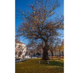 """Старата черница във Велики Преслав с двойна победа в конкурса """"Дърво с корен 2020"""""""